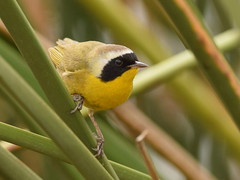 Common Yellowthroat ( Geothlypis trichas) Male (chiccadeee) Tags: california brown black male bird birds yellow back spring san mask song wildlife birding olive belly joaquin common sanctuary warbler yellowthroat warblers geothlypis trichas wintering witchety witchetywitchetywitchety witchetywitchety