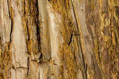 15/2016 - Redwood Bark (Jill Clardy) Tags: winter red sun macro tree sunshine lens walk sunny neighborhood textures bark walkabout redwood mg9232 day15366 366the2016edition 3662016 15jan16