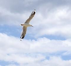 eDSC_0003 (Linda M Hurley) Tags: seagull flight silvergull