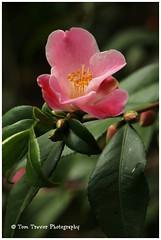 IMG_6856 (Doubletee) Tags: california pink flower fleur geotagged petals dof bokeh flor camelia camellia  blume fiore bloem kamelie descansogardens camlia     lacaadaflintridge canonef100mmf28macrousm   minatonoakebono