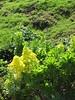 starr-110201-0529-Aeonium_arboreum-flowers-Keokea-Maui (Starr Environmental) Tags: aeoniumarboreum