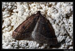 La phalne prcoce (Theria primaria) (cquintin) Tags: lepidoptera geometridae arthropoda primaria theria