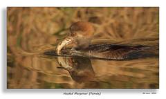 Hooded Merganser (Nov 2009) (Malcolm Benn) Tags: ontario canada birds canon waterfowl 500mm 2009 merganser hoodedmerganser 50d mgbenn malcolmbenn