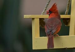 Northern Cardinal Male DSC_0468 (blthornburgh) Tags: red bird nature tampa backyard cardinal florida northern redbird cardinalis thornburgh outdoorssongbird