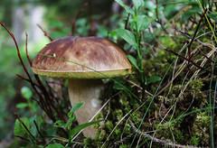 Boletus edulis (Alessandro Iaquinta) Tags: mushroom canon funghi boletus porcino 60d