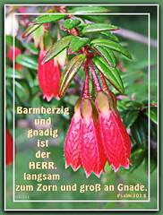 Barmherzig und gndig / merciful and gracious (Martin Volpert) Tags: flower fleur jesus flor pflanze bible blomma ericaceae christianity blume fiore blte bibel blomster virg christus lore biblia bloem blm iek floro kwiat flos ciuri bijbel kvet kukka cvijet flouer glauben christentum blth cvet zieds macleaniacordifolia is floare  blome iedas bibelverskarte mavo43 mercifulandgracious psalms1038 barmherzigundgndig