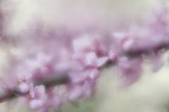 Spring Flowers - Red Bud (Anne Worner) Tags: pink flower macro closeup lensbaby outside outdoors nikon soft branch blossom bokeh f16 bloom flowering bud springtime redbud blooming shallowdof texensis texasredbud cerciscanadensisvartexensis d7000 anneworner velvet56 cerciscanadensisssp