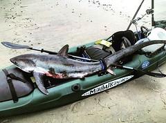 @guardiancharters crazy #catchoftheday  #malibukayaks #kayakfishing #angler #flyfishing #deepseafishing #shark #fishing #fishon #fisherman