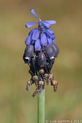Muscari neglectum Guss. ex Ten. (Lus Gaifm) Tags: flower macro planta nature natureza flor plantae grapehyacinth fo muscarineglectum commongrapehyacinth asparagaceae starchgrapehyacinth lusgaifm pnlitoralnorte