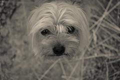 Don Len (riquelme.guillermo) Tags: dog yorkie yorkshire terrier ternura