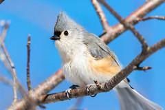 quabbinwinter2016-419 (gtxjimmy) Tags: winter bird mouse nikon tit massachusetts newengland reservoir tufted quabbin tamron songbird quabbinreservoir d600 watersupply nikond600 150600mm