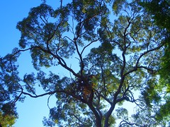 Yellow Box (sandraarrell) Tags: tree bluemountains nsw february 2015 springwood yellowbox eucalyptusmelliodora sandraarrell