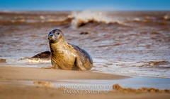 Inquisitive one (emmadavidso) Tags: wild beach grey sand wind young wave bluesky lincolnshire seal donnanook