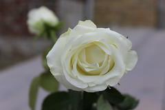 White rose (Davydutchy) Tags: white flower fleur rose bokeh roos depthoffield explore february blume wit weiss bianco blanc bloem roas 2016 weis blom scherptediepte explored dieptescherpte