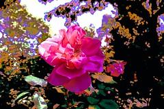 Bulla Rose (maginoz1) Tags: flowers abstract canon flora contemporary australia melbourne manipulation victoria blooms g3x photodelic summerfebruary2016 rosegardenbulla