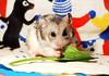 *Nom nom* ~ Filifionka (pyza*) Tags: winter pet cute animal rodent furry hamster fifi syrian hammie tofi chomik filifionka tofcia tofinka