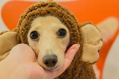 IMG_3388 (yukichinoko) Tags: dog dachshund 犬 kinako ダックスフント ダックスフンド きなこ