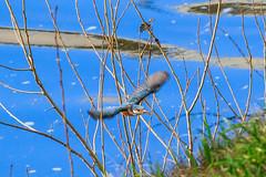 Martin-pcheur d'Europe femelle (Alcedo atthis) (yann.dimauro) Tags: france animal fr extrieur oiseau rhone rhnealpes givors ornithologie yanndimauro