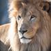 Lion Closeup Portrait with Side Lighting