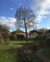 "Climbing for 'stump removal services' again today, 5 conifers and 1 acacia removed, 1 lovely birch reduced #wardenstreecare <a style=""margin-left:10px; font-size:0.8em;"" href=""http://www.flickr.com/photos/137723818@N08/24993575942/"" target=""_blank"">@flickr</a>"