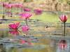 Seerose Lotusblume Teich Nordost-Thailand Isaan Südost-Asien © (hn.) Tags: copyright flower thailand flora asia asien heiconeumeyer seasia soasien southeastasia südostasien waterlily lotus waterlilies blume blüte northeast isaan surin isan copyrighted seerose esan issan lotusflower nymphaeaceae aquaticplant lotos lotusblossom esarn northeastthailand isarn lotusblüte wasserpflanze prasat nordost prasart surinprovince nordosten issarn lotosblume seerosengewächse nordostthailand aquaticherbs lotosblossom upcountrythailand provincialthailand chanwatsurin amphoeprasat upcountryisaan tp201516