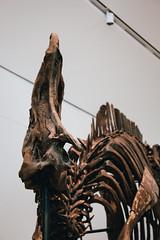 Jurassic Park - Hadrosaur (Mallika Makkar Photography) Tags: toronto canada history museum canon fossil rebel university dinosaur reptile wideangle science bones bone biology paleo rom palaeontology yyz uoft 18mm fossilized sauropod 416 pterosaur torontophotographer torontophotography