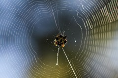 Dot paint spider (dawn.tranter) Tags: light sunlight macro spider pattern web repetition spidersweb dotpainting activeassignmentweekly bestofweek1 bestofweek2 bestofweek3 bestofweek4 dawntranter