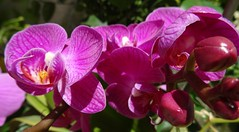 Orchide /// Orchid (Hlne_D) Tags: plant france orchid flower fleur plante paca aviary provence orchide alpesdehauteprovence ahp simplyflowers provencealpesctedazur fabulousflowers pierrevert theflowersofflickr planetearthflowers floralfantasia hlned orchidepassion