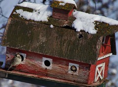 A Gentleman Caller With Barnyard Manners (blindpariah) Tags: winter house snow canada barn march birdhouse manitoba sparrow selkirk
