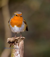 Beautiful. (Albatross Imagery) Tags: cute bird nature beautiful robin birds wildlife rspb wildbirds