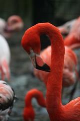 Cubaanse flamingo (tasj) Tags: zoo ouwehandsdierenpark