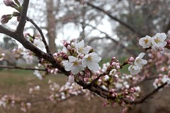 Cherry blossoms (pburka) Tags: nyc flowers wet rain cherry droplets spring branch centralpark manhattan blossoms bloom buds
