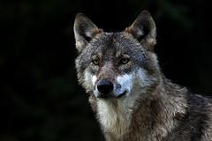 Face (Nephentes Phinena ☮) Tags: wolf greywolf eurasianwolf wildparkeekholt grauwolf nikond300s europäischergrauwolf eurasiangreywolf eurasischergrauwolf eruopäischerwolf