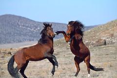 Horsing Around; Two wild mustang stallions from different bands engage in a mock battle. (rangerbatt) Tags: wildhorse wildmustang skullvalley greatbasin wildutah utahwildlife mustang utahwestdesert grass animal field landscape sky fightingmustangs wildhorsefight explore d5300 nikon55300mm