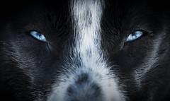 Blue (Cyril Blanchard) Tags: blue dog black dogs animal norway closeup husky friendship blueeyes human sledding bestfriend alaskan dogsled fagerlund