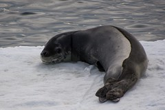 Leopard Seal On Ice Floe (Barbara Evans 7) Tags: ocean southern barbara leopard seal antarctic evans7