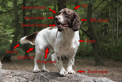 ZigZag PC (Flemming Andersen) Tags: wood dog spaniel zigzag inexplore