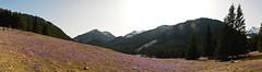 Dolina Chochoowska - panorama (Micha Stolarski) Tags: mountains poland polska crocus dolina tatry krokus chochoowszka
