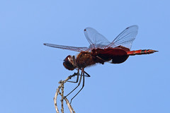 Carolina Saddlebags (Tramea carolina) (steveraduns) Tags: statepark park red bug insect wings branch florida dragonfly perched flyinginsect claycounty blackwings blackpatch goldhead trameacarolina keystoneheights carolinasaddlebags goldheadbranch