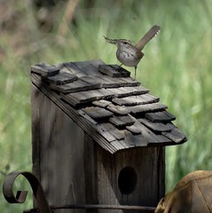 Bewick's Wren--Thryomanes bewickii (Polioptila caerulea) Tags: bird songbird wren bewickswren passerine thryomanesbewickii california bewr troglodytidae nevadacountybreedingbirdatlas thryomanes nevadacounty
