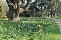 Daffodil field - 1 (Myo-Myo) Tags: wood trees england sun tree green nature yellow canon easter landscape eos spring daffodil blenheim woodstock daffodils coth canon600d