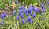 1-IMG_2989 (hemingwayfoto) Tags: flora blau blume blüte garten botanik hyazinthe blühen traubenhyazinthe zuchtform