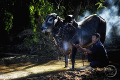 Shower - Water Buffalo