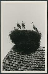 Archiv E170 Vier Jungstrche im Nest, 1930er (Hans-Michael Tappen) Tags: tiere 1930s nest vgel stork storch storchennest jungstrche 1930er archivhansmichaeltappen