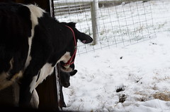 Mama says (Sheeps and Peeps Farm) Tags: tilly tansy inthebarn heifercalf barnlife familymilkcow