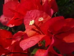 Wishing you a Happy Sunday! (peggyhr) Tags: red closeup hawaii bougainvillea peggyhr dsc01798