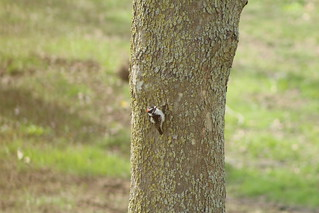 Downy-headed woodpecker