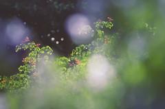 ~ Green 'n Purple ~ (Flick Vlooi) Tags: flowers light red blur green haze focus purple pentax bokeh softness foliage k5 defocused smcpentaxdfa100mmf28macrowr