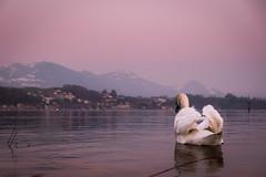 Luzern (Felicius Exelsberg) Tags: lake dawn see swan sonnenuntergang luzern romantic schwan lucern