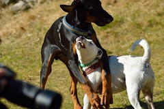 DSC_8050_045 (Camilla Olofsson) Tags: dogs jack fight play russel dobermann